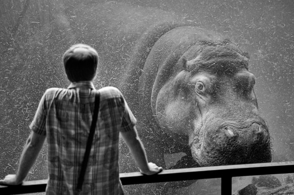 Cesar March Hippo looking at Man, What's your problem?